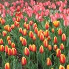 Dee Dee Tulip