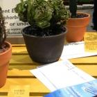 Euphorbia Geltosky